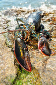 A Live Lobster Washed on a Rocky Beach — Stock Photo