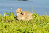 Canadian Gosling Laying in the Warm Spring Sun — Stock Photo
