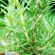 Close Up of Rosemary Growing in the Garden — Stock Photo #49286389