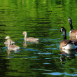 Young Canadian Geese Swimming with Their Parents — Stock Photo #49286465