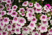 Pretty Pink and White Summer Petunias — Stock Photo