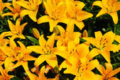 Summer Background of Bright Yellow Lilies — Stock Photo
