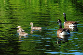 Young Canadian Geese Swimming with Their Parents — Stock Photo