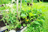 Flourishing Backyard Vegetable Garden on a Hot Summer Day — Stock Photo