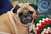 Old Pug Laying on a Christmas Blanket — Stockfoto