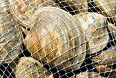Bagged Fresh Raw Clams — Stock Photo