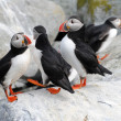 A Colony of Puffins on Machias Island — Stock Photo #51343663