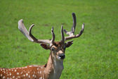 Buck Close Up in a Green Field — Stock Photo