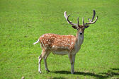 Deer in a Green Field — Stock Photo