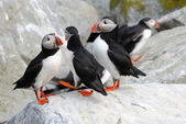A Colony of Puffins on Machias Island — Stock Photo