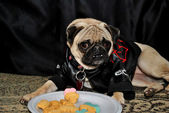 Pug Modeling in Front of a Plate of Dog Cookies — Stock Photo