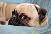 Annoyed Pug Puppy — Stock Photo
