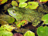 Frog in Lily Pads — Stock Photo