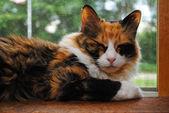 Sleepy Kitty on a Sunny Window Sill — Stock Photo
