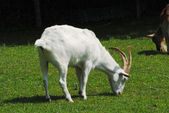 Grazing White Goat on a Farmland Pasture — Stock Photo