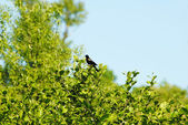 Red Winged Blackbird Singing in Green Bushes — Stock Photo