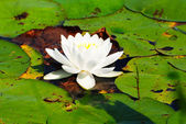 White Water Lily Surrounded by Lily Pads — Stock Photo