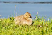 Baby Canadian Goose Laying in the Summer Sunhine — Stock Photo