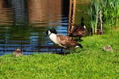 Canadian Geese Preening at the Edge of a Pond — Stock Photo