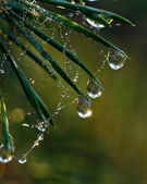 Pine needle with big dewdrops — Stock Photo