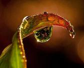 Vattendroppe på blad — Stockfoto