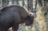 European bison (wisent)  — Stock Photo