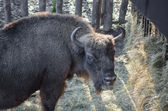 European bison (wisent)  — Stock Photo