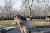 Przewalski's horse Dzungarian horse — Stock Photo