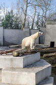 Polar bear in zoo — Foto Stock