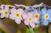 Forget-me-mot - small blue and pink flowers — Stock Photo