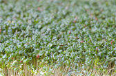 Fresh green cress — Stock Photo