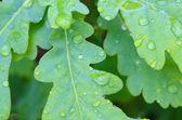 Zielone liście dębu — Zdjęcie stockowe