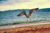 Seagull flying over the coast — Stock Photo