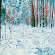 Stock Photo: Snowy pine forest in winter