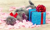 Cat lying on the back on rose petals — Foto de Stock