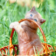 cute kitten playing in the basket — Stock Photo #38836579