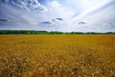 Wheat field with blue sky with sun and clouds — Stock Photo