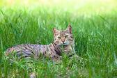 Cat lying in grass — Stock Photo
