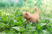 Cite little kitten walking on the plantain — Foto Stock