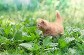 Cite little kitten walking on the plantain — Stock Photo