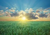 Oat field with blue sky with sun and clouds — Stock Photo