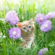 Cute little kitten sitting in flower meadow — Stock Photo
