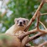 Rock hyrax on the tree — Stock Photo