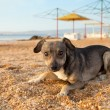 Homeless dog lying on deserted beach — Stock Photo