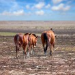 Wild horses on the prairie — Stock Photo