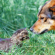 Big dog and little kitten sniffing each other on the grass — Stock Photo
