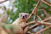Rock hyrax on the tree — Stock Photo