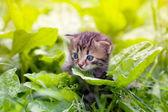 Kleines kätzchen zu fuß auf den wegerich — Stockfoto