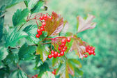 Wet viburnum berries — Stock Photo