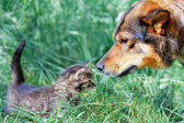 Big dog and little kitten sniffing each other on the grass — Foto Stock